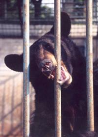 bear biting at the bars of its cage